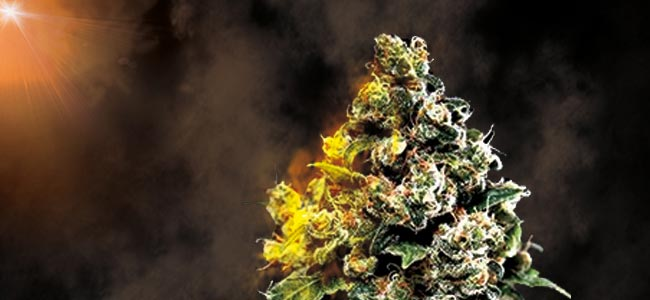 Jack Herer - Greenhouse Seeds