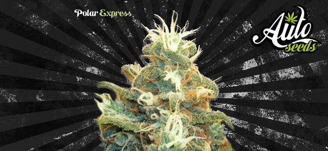 Polar Express Auto Seeds