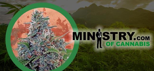 Auto Blue Amnesia Ministry of Cannabis