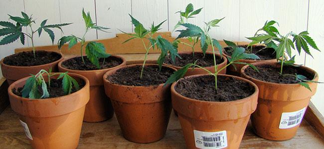 Cannabis Planten
