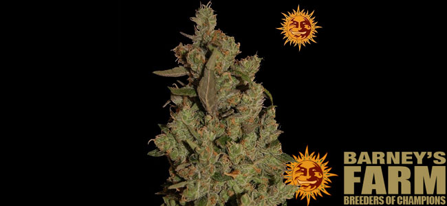 CBD Critical Cure Barneys Farm