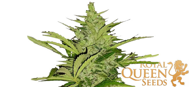 Fast Eddy Royal Queen Seeds