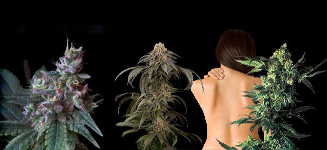 CBD-cannabissoorten tegen pijn