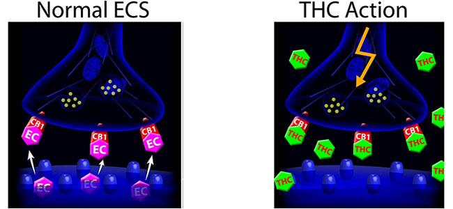Endocannabinoid systeem thc