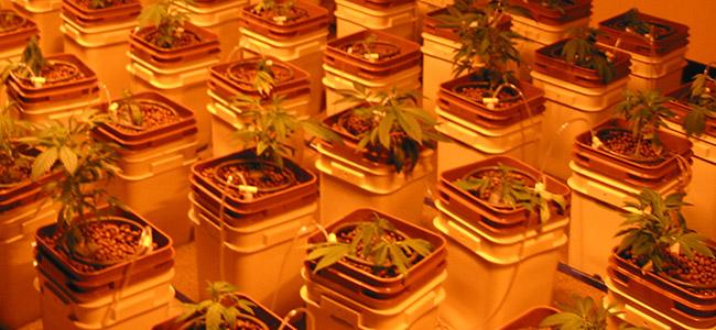 Hydro Cannabis Groei