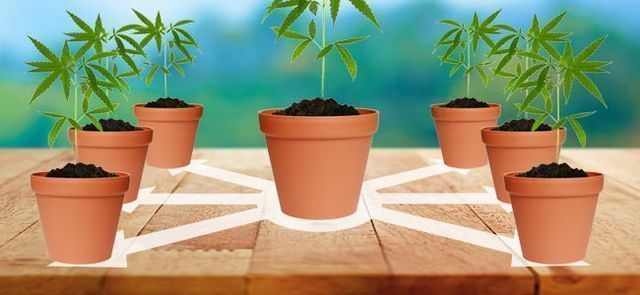 Is It Possible To Take Clones From An Autoflowering Strain