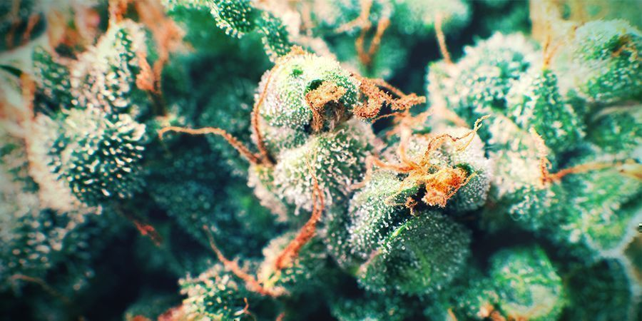 Cannabis Gouden Haren