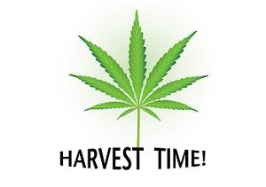 Oogsttijd cannabis