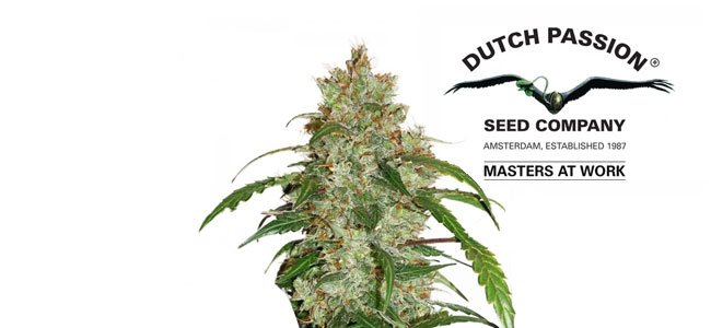 CBD Auto White Widow Dutch Passion
