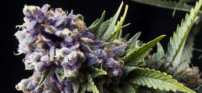 Purple Pyramid Seeds