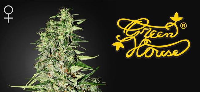 Diamond Girl Greenhouse Seeds