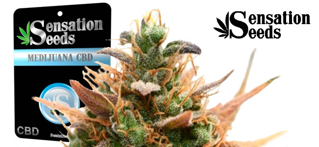 Medijuana CBD Sensation Seeds