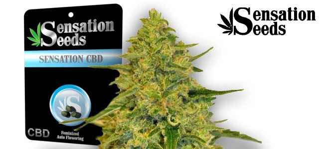 Sensation CBD Sensation Seeds