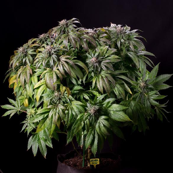 Master Kush (Humboldt Seeds) fem.