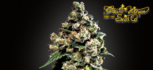 Jack Herer Greenhouse Seeds