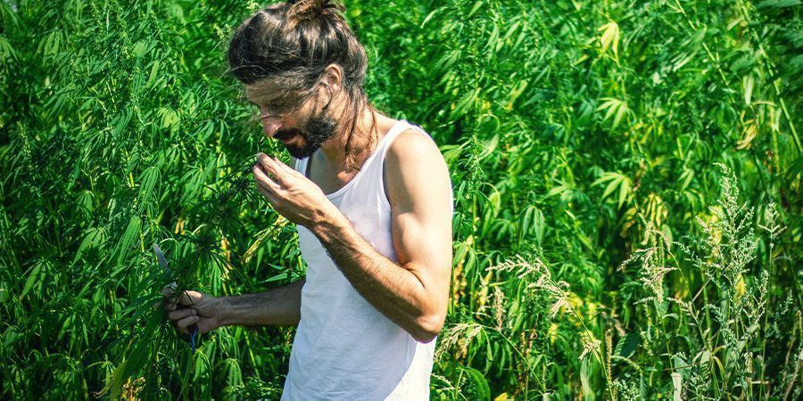 Cannabis heeft een hele sterke geur