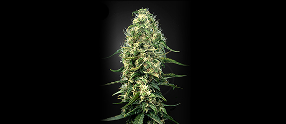 Super Silver Haze CBD (Greenhouse Seeds) Fem.