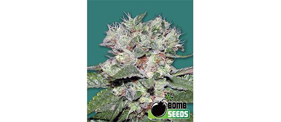 CBD Bomb (Bomb Seeds) Fem.