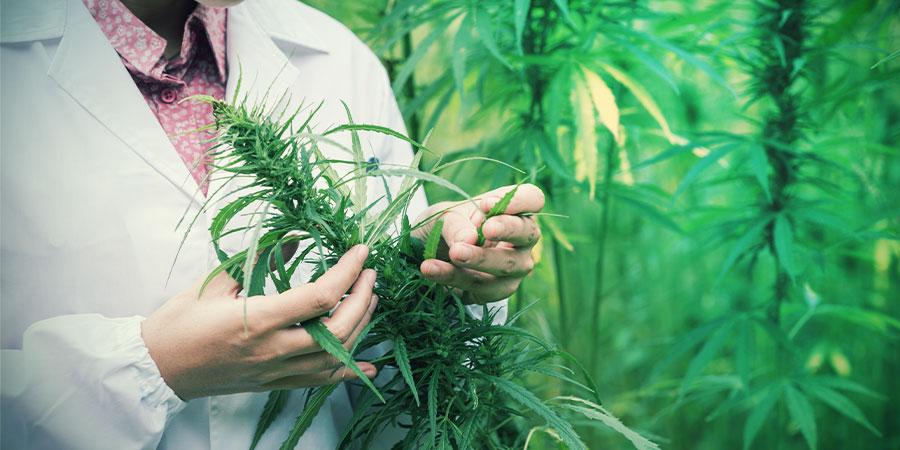 Kan Cannabis Pijn Behandelen?