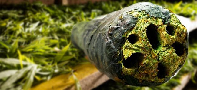 Cannabis Bladeren als Vloei