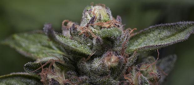 Purple Kush top