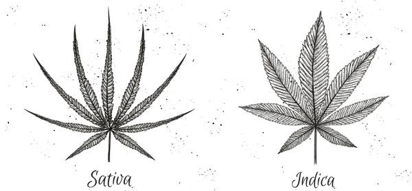 Sativa vs Indica