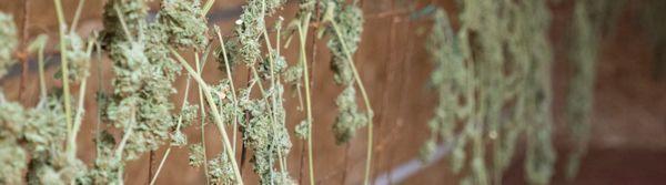 Cannabis drogen