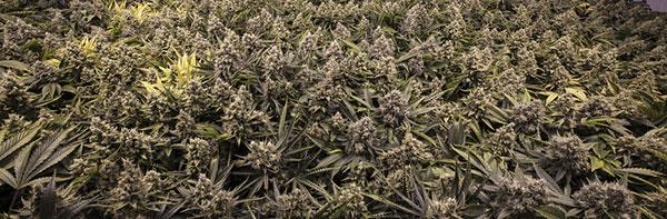 Cannabis bloeitijd
