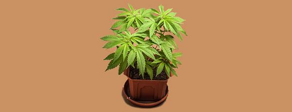 Vegetatieve hybride cannabis