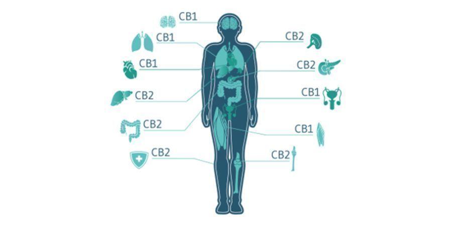 Hoe Communiceren Cannabinoïden Met Het ECS?