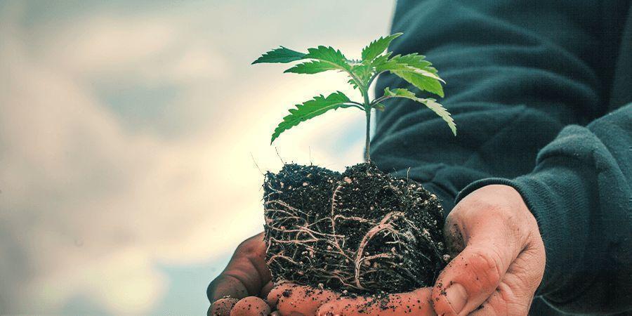 Sativa Vs. Indica: Het Verschil In Groei