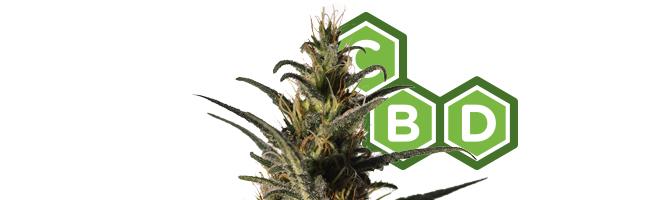 Candida (CD-1) (Medical Marijuana Genetics)