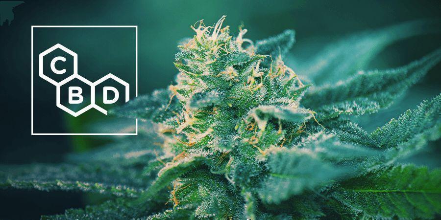 Cannabis Soorten Rijk Aan CBD