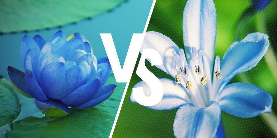 Blauwe Lotus: Nauw verwante planten