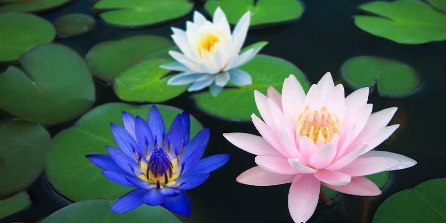 Andere leden van de Lotusfamilie
