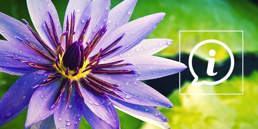 Wat Is Blauwe Lotus?
