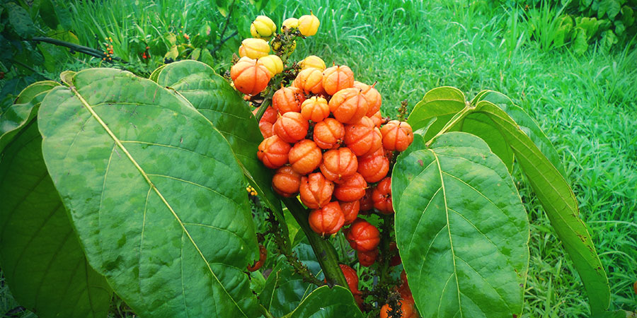 IS IT SAFE TO TAKE GUARANA?
