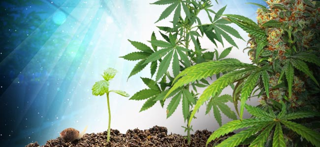De Levenscyclus Van De Cannabis Plant