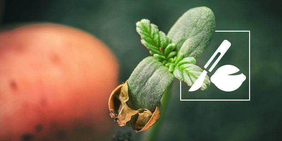 Het Ontkiemen Van Oude Cannabis Zaden