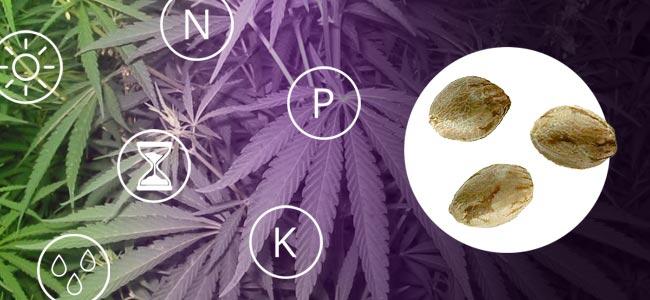 Hoe Je Een Sativa Kweekt
