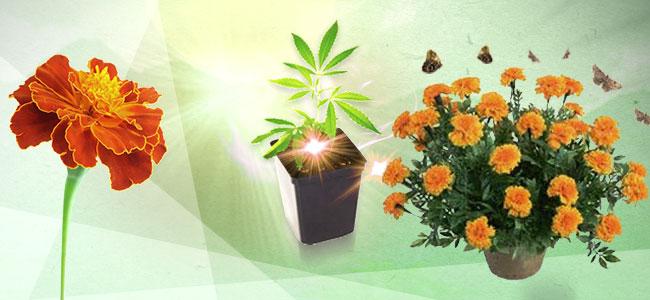 Cannabis Combinatieteelt: Goudsbloemen
