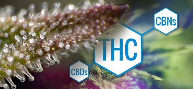 Trichomen: Veranderingen In Marihuana Chemie