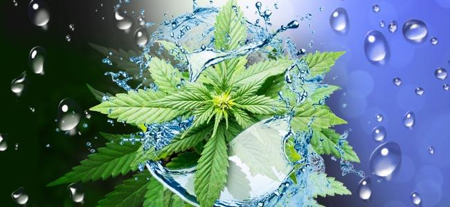 Wanneer En Hoe Flush Je Je Cannabisplanten?