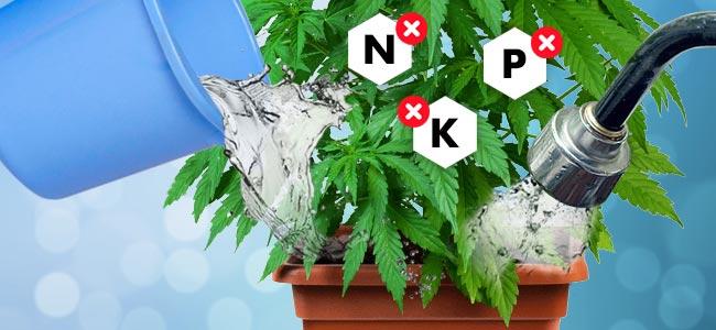 Hoe Je Cannabisplanten Flusht