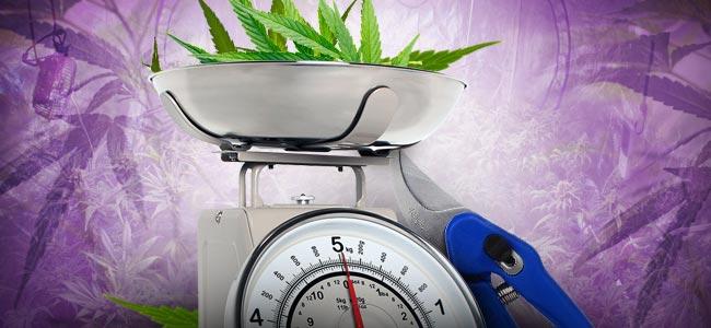 Cannabis Ontbladeren: HOEVEEL IS TE VEEL?