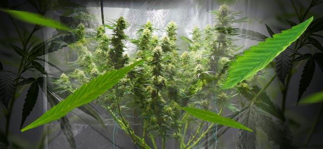 een grotere cannabis oogst