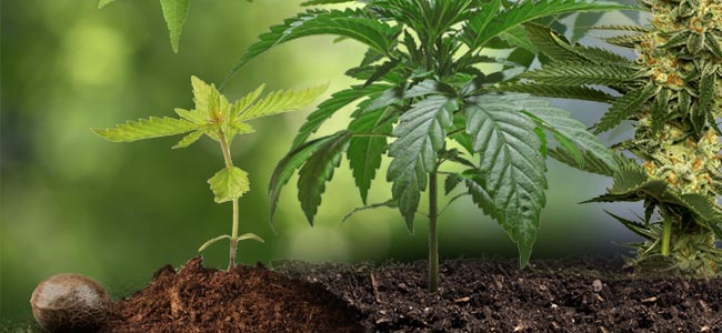 De Cannabis Levenscyclus