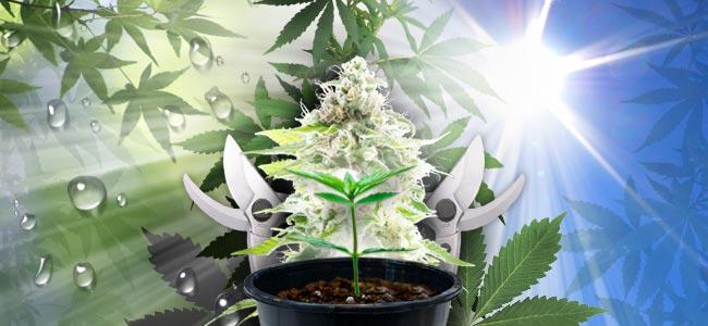 Buiten Cannabis Kweken
