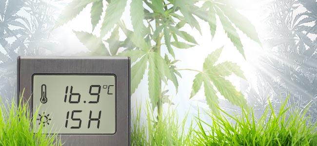 Juli: Cannabis Planten Beginnen In Bomen Te Veranderen