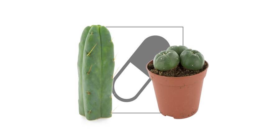 VP Mescaline Cacti